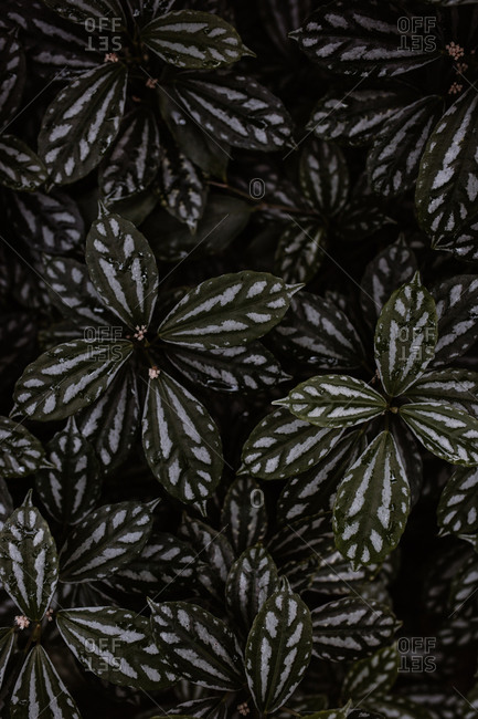 Top view of green watermelon pilea with delicate leaves growing in dark hothouse