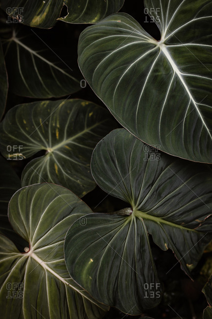 Top view of green leaves growing in dark hothouse