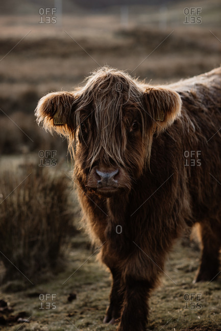 Adorable Highland cattle pasturing in meadow with dry grass in Scottish Highlands and looking at camera