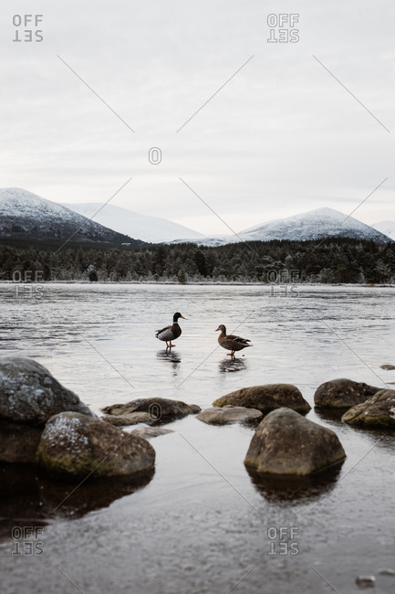 Ducks standing on frozen pond on background of mountainous landscape in Scottish Highlands