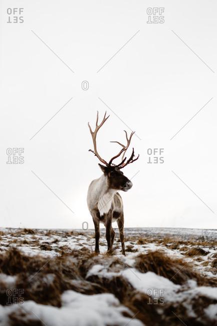 Fluffy deer in a snowy meadow in winter in Scottish Highlands