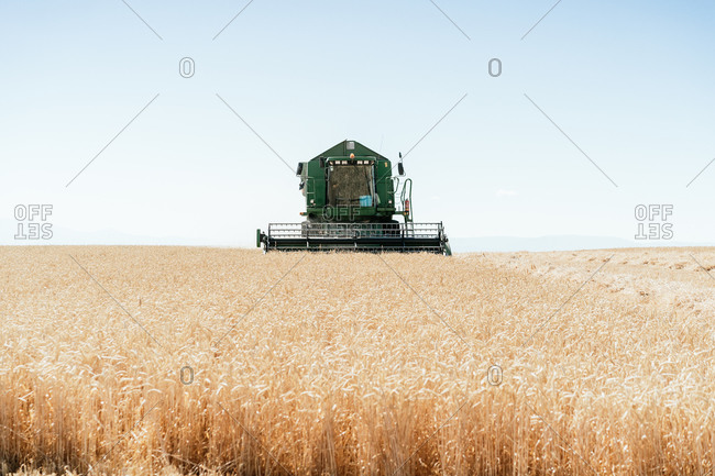 Heavy combine machine collecting wheat in dry field in countryside in harvest season