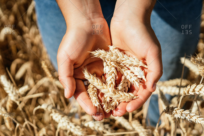 Top view of unrecognizable crop female sitting in agricultural field with spikelets in hands on sunny day in countryside