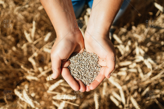 Top view of cropped female farmer in overalls standing in golden field with hands full of wheat grain