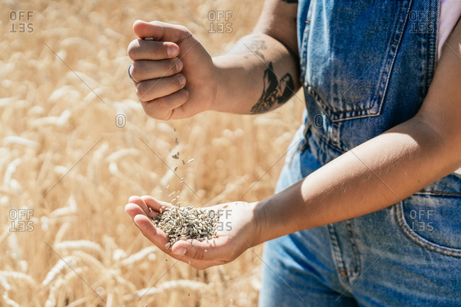 Crop female farmer in overalls standing in golden field and pouring wheat grain in hand