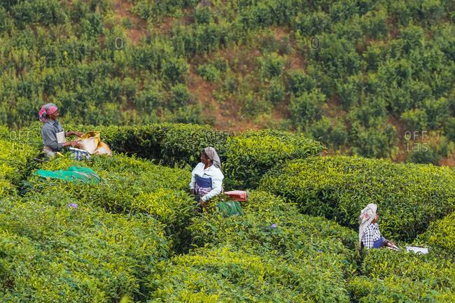 October 20, 2017: Female tea workers in the morning at Lakshmi tea estate in the Kannan Devan Hills west of Munnar, Lakshmi, Munnar, Kerala, India, Asia