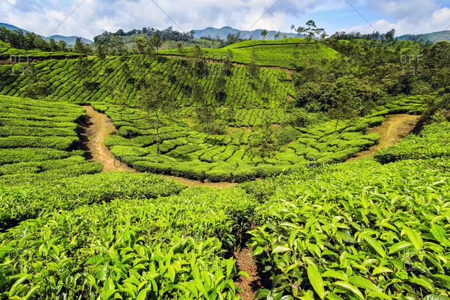 Tea bush covered slopes at beautiful Lakshmi tea estate in the Kannan Devan Hills west of Munnar, Lakshmi, Munnar, Kerala, India, Asia