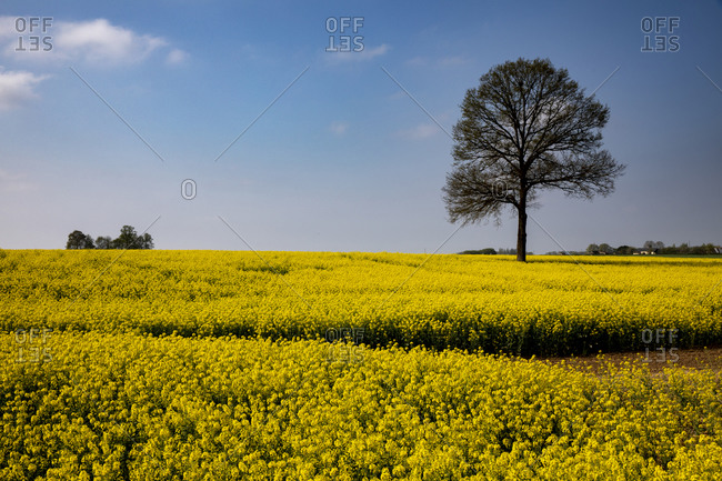 Rapeseed field in Eure, Normandy, France, Europe