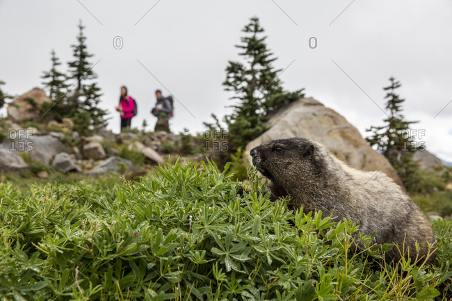 Adult hoary marmot (Marmota caligata), on the Deadhorse Creek Trail, Mount Rainier National Park, Washington State, United States of America, North America