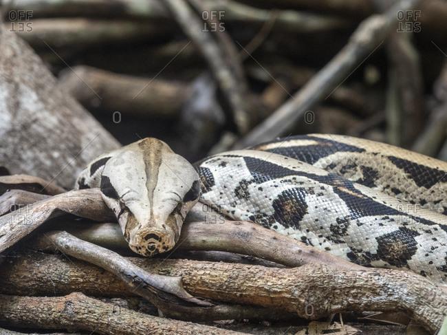 Captive adult Boa constrictor (Boa constrictor), Parque das Aves, Foz do Iguacu, Parana State, Brazil, South America