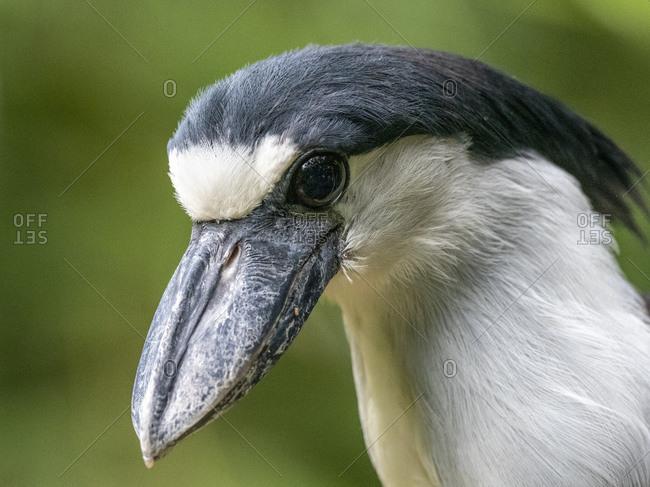 Captive adult boat-billed heron (Cochlearius cochlearius), Parque das Aves, Foz do Iguacu, Parana State, Brazil, South America