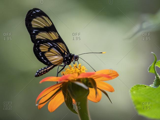 Captive Themisto amberwing (Methona themisto), Parque das Aves, Foz do Iguacu, Parana State, Brazil, South America