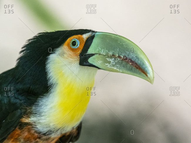 Captive red-breasted toucan (Ramphastos dicolorus), Parque das Aves, Foz do Iguacu, Parana State, Brazil, South America