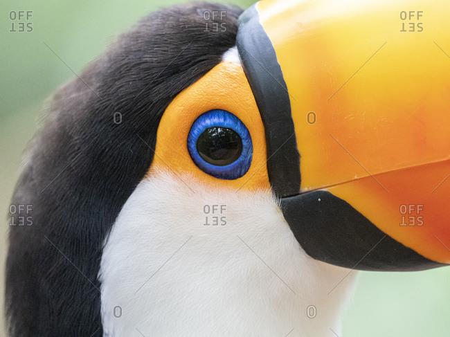 Captive toco toucan (Ramphastos toco), Parque das Aves, Foz do Iguacu, Parana State, Brazil, South America