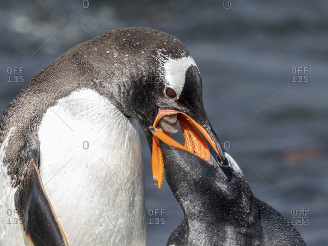 Adult gentoo penguin (Pygoscelis papua), feeding its chick on Prion Island, Bay of Isles, South Georgia, Polar Regions