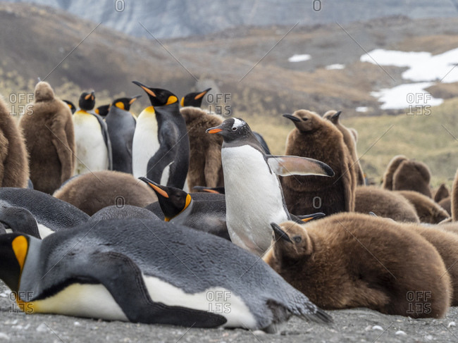 Adult gentoo penguin (Pygoscelis papua), amongst king penguins in Gold Harbor, South Georgia, Polar Regions