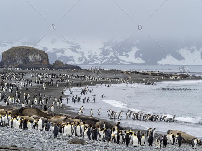 King penguin (Aptenodytes patagonicus) breeding colony at Salisbury Plain, South Georgia, Polar Regions
