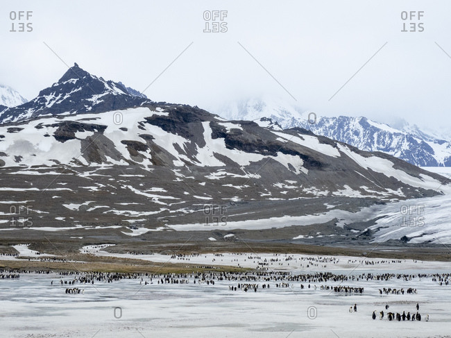 King penguins (Aptenodytes patagonicus), molting on frozen glacial runoff in St. Andrews Bay, South Georgia, Polar Regions