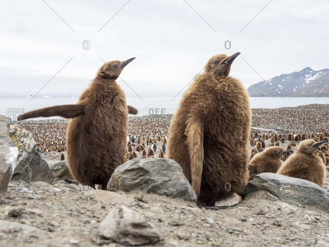 King penguin (Aptenodytes patagonicus) chicks called Okum Boys at Gold Harbor, South Georgia, Polar Regions