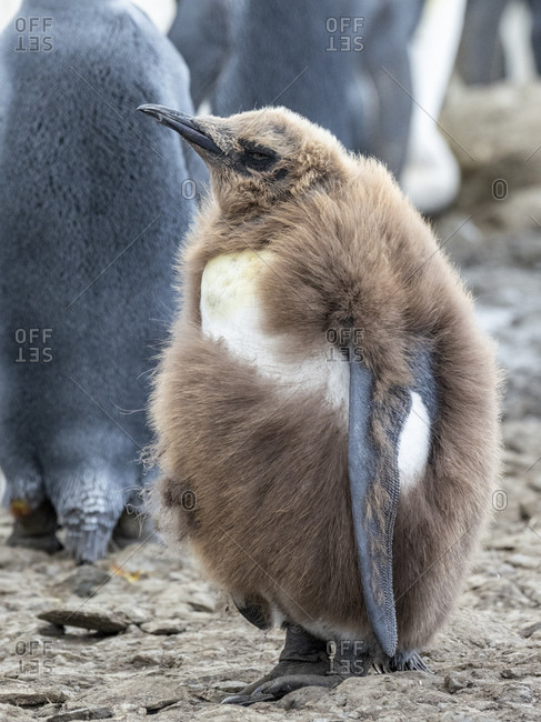 King penguin (Aptenodytes patagonicus) chick molting its downy feathers at Gold Harbor, South Georgia, Polar Regions