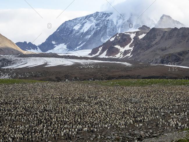 King penguin (Aptenodytes patagonicus) breeding colony at Gold Harbor, South Georgia, Polar Regions