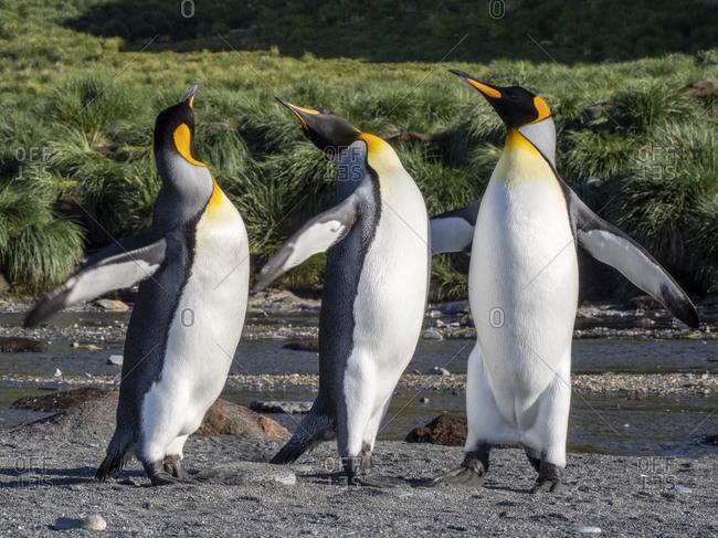 King penguin (Aptenodytes patagonicus) adults establishing partners at breeding colony in Gold Harbor, South Georgia, Polar Regions