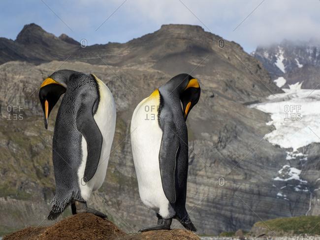 King penguin (Aptenodytes patagonicus) courtship display at breeding colony in Gold Harbor, South Georgia, Polar Regions