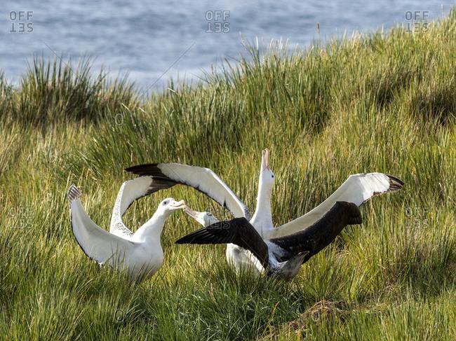 Wandering albatross (Diomedea exulans) trio in courtship display on Prion Island, Bay of Isles, South Georgia, Polar Regions