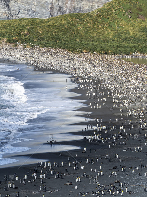 A huge King Penguin (Aptenodytes patagonicus) breeding colony on the beaches of Gold Harbor, South Georgia, Polar Regions