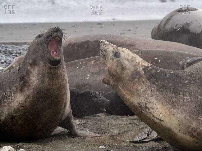 Female southern elephant seal with young male (Mirounga leoninar), on the beach at Salisbury Plain, South Georgia, Polar Regions