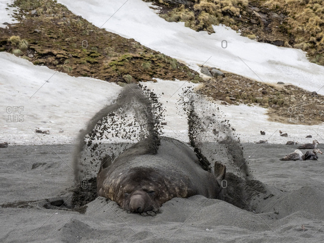 Southern elephant seal bull (Mirounga leoninar), throwing sand at breeding beach in St. Andrews Bay, South Georgia, Polar Regions