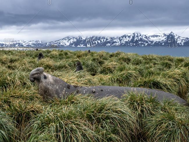 Southern elephant seal bull (Mirounga leoninar), in the tussah grass at Salisbury Plain, South Georgia, Polar Regions