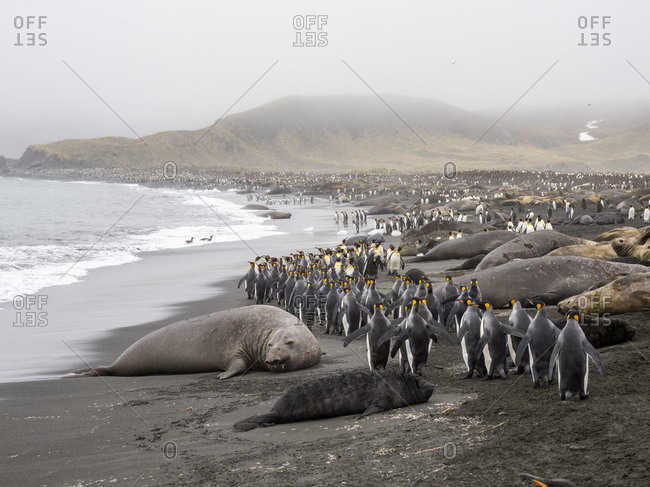 Southern elephant seals (Mirounga leoninar), resting on the beach with penguins, at Gold Harbor, South Georgia, Polar Regions