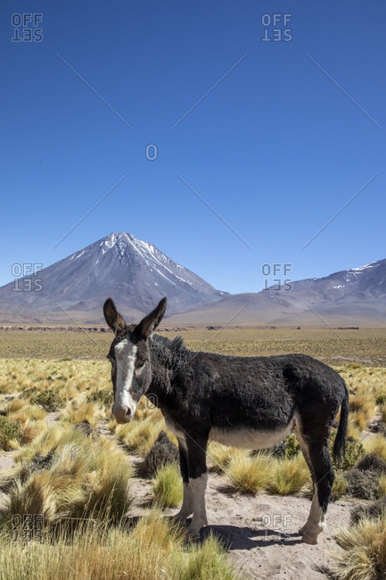 Wild burro (Equus africanus asinus) in front of Licancabur stratovolcano, Andean Central Volcanic Zone, Chile, South America