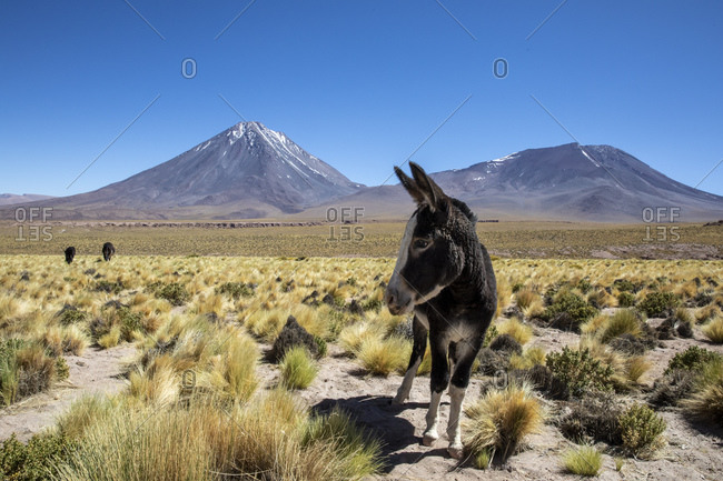Wild burros (Equus africanus asinus) in front of Licancabur stratovolcano, Andean Central Volcanic Zone, Chile, South America