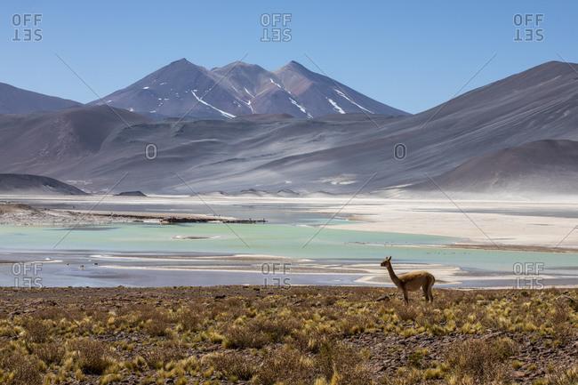 Adult vicuna (Vicugna vicugna), in the Andean Central Volcanic Zone, Antofagasta Region, Chile, South America
