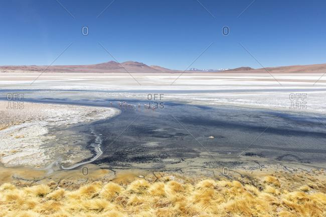 Andean flamingos (Phoenicoparrus andinus), Laguna Tara, Los Flamencos National Reserve, Antofagasta Region, Chile, South America