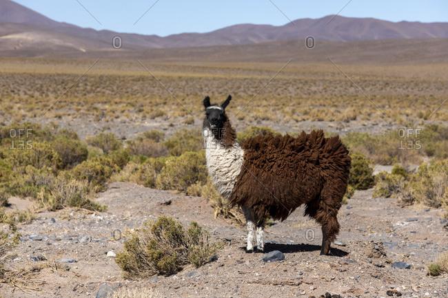 Llama (Lama glama), near route 33, Piedra del Molino, Los Cardones National Park, Salta Province, Argentina, South America