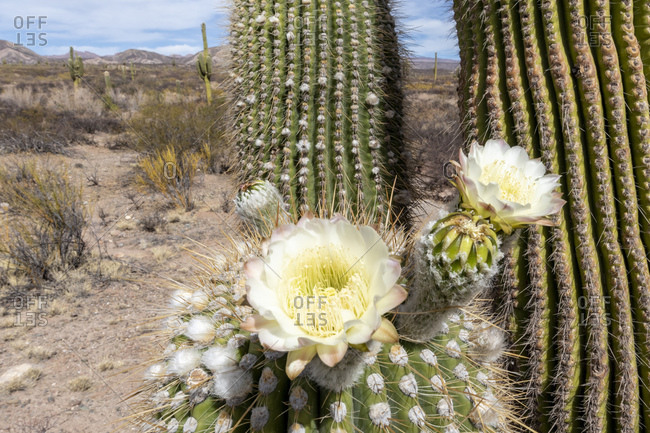 Argentine saguaro cactus (Echinopsis terscheckii) in flower, Los Cardones National Park, Salta Province, Argentina, South America