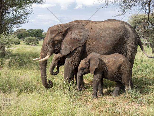 African bush elephant (Loxodonta africana), mother and calves, Tarangire National Park, Tanzania, East Africa, Africa