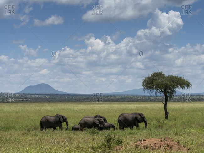 A herd of African bush elephants (Loxodonta africana), Tarangire National Park, Tanzania, East Africa, Africa