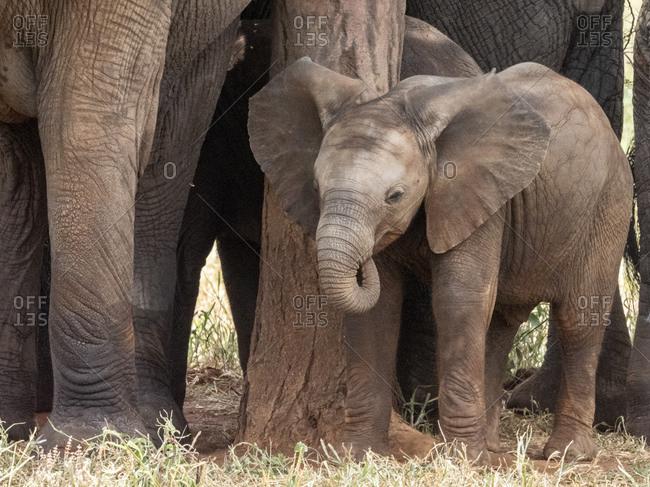 A herd of African bush elephants (Loxodonta africana), protecting a newborn calf in Tarangire National Park, Tanzania, East Africa, Africa