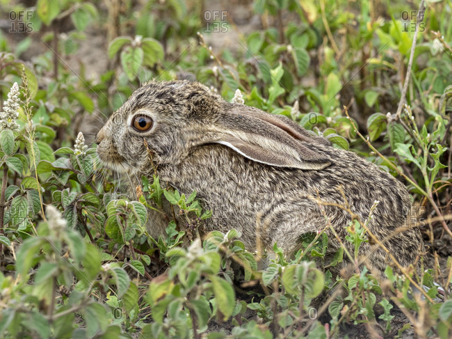 African savanna hare (Lepus victoriae), hiding in vegetation in Serengeti National Park, Tanzania, East Africa, Africa