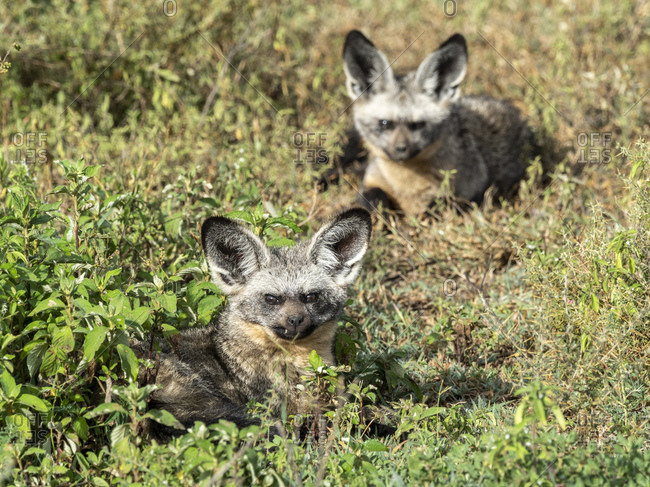 A pair of bat-eared foxes (Otocyon megalotis), Serengeti National Park, Tanzania, East Africa, Africa