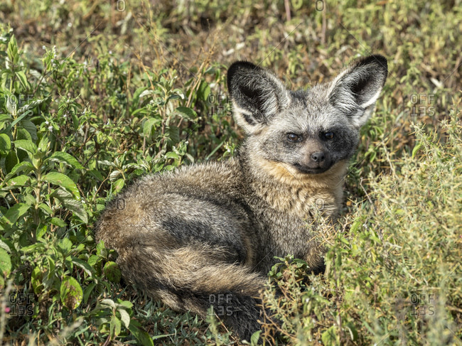 An adult bat-eared fox (Otocyon megalotis), Serengeti National Park, Tanzania, East Africa, Africa