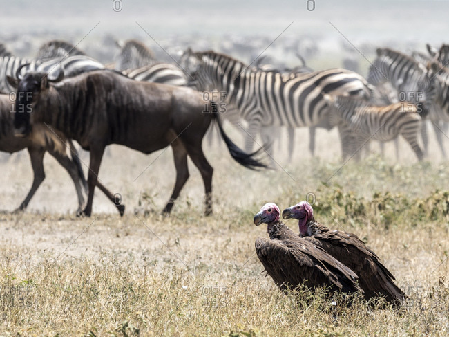 A pair of lappet-faced vultures (Torgos tracheliotos), in the great migration, Serengeti National Park, Tanzania, East Africa, Africa