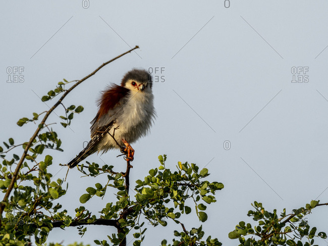 An adult African pygmy falcon (Polihierax semitorquatus), Tarangire National Park, Tanzania, East Africa, Africa