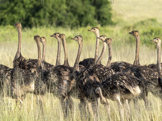 A flock of young Masai ostriches (Struthio camelus massaicus), Tarangire National Park, Tanzania, East Africa, Africa