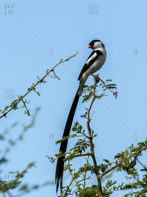 A male pin-tailed whydah (Vidua macroura), in breeding plumage in Tarangire National Park, Tanzania, East Africa, Africa