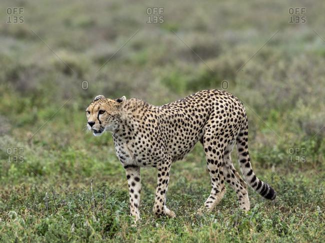Adult cheetah (Acinonyx jubatus), stalking the Great Migration in Serengeti National Park, Tanzania, East Africa, Africa